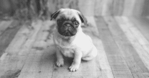 A Beautiful List of Pug Pictures For All Occasions