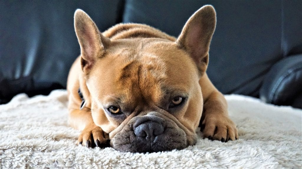 Dog Pictures - French Bulldog