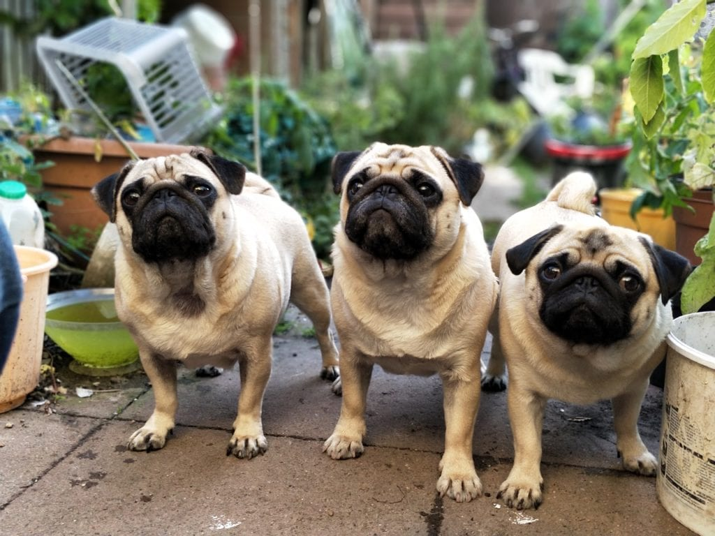Dog Pictures - Pug