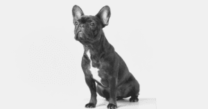 An Eye-Catching List of Quality French Bulldog Pictures