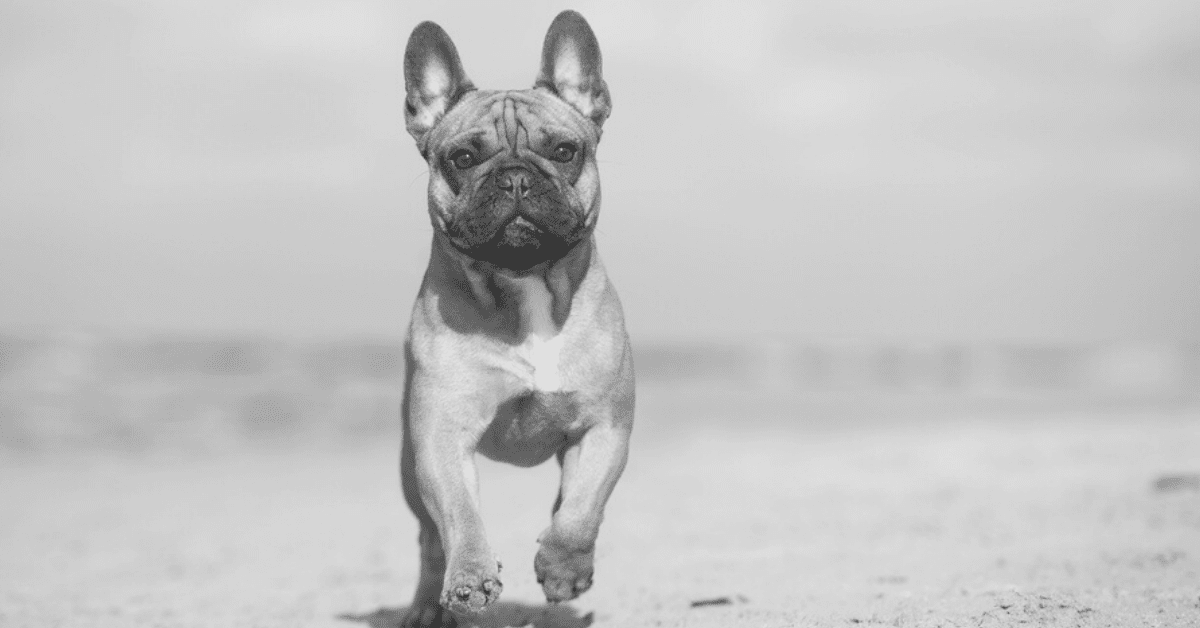 13 Interesting Facts About French Bulldogs