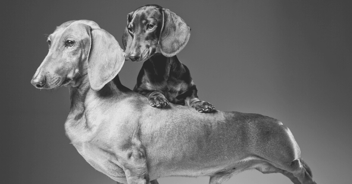 A Cute List of High-Quality Dachshund Pictures