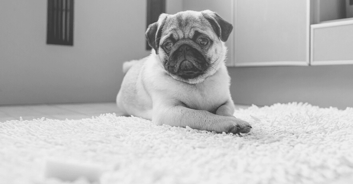 How to Train Your Pug - Potty, Getting Social, and More