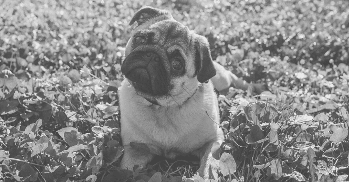 Pug Information for Owners and Enthusiasts - Facts, Tips, and Helpful Advice