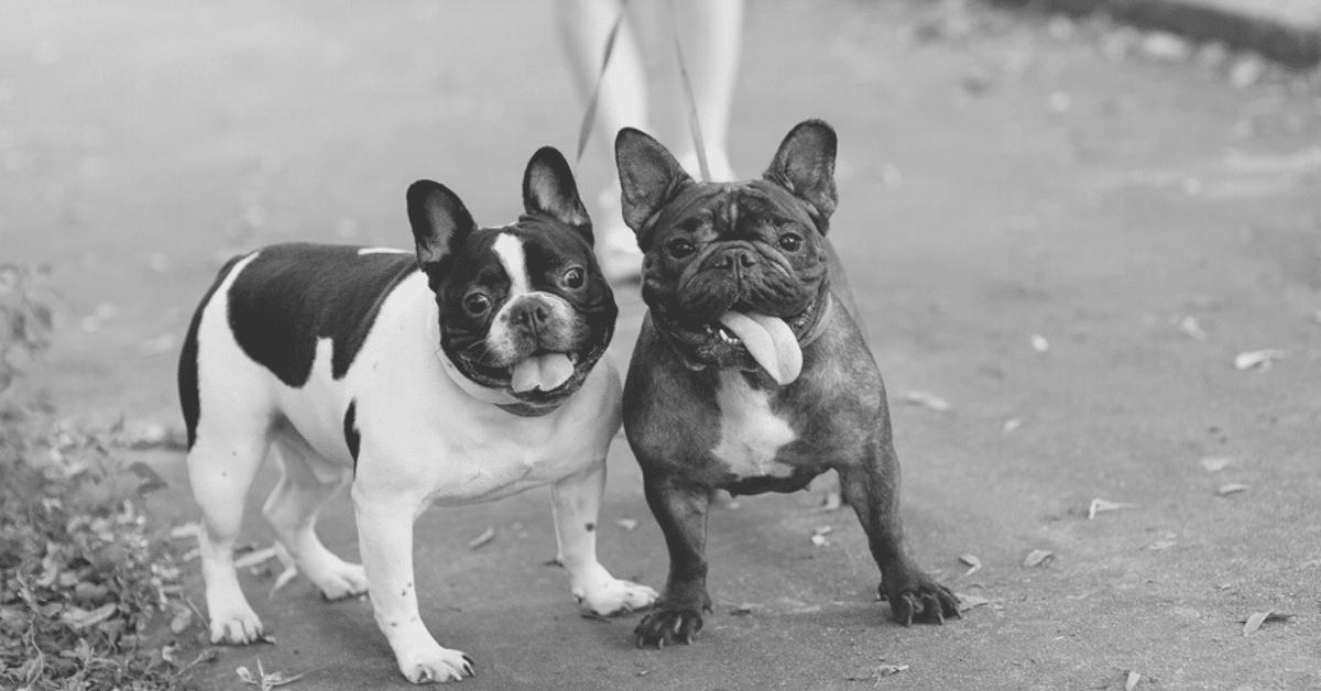 Are French Bulldogs Aggressive Dogs?